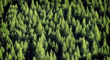mets-kuused